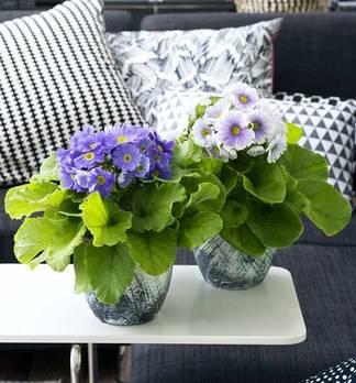 Becherprimel - DIY Dekoideen mit der Zimmerpflanze